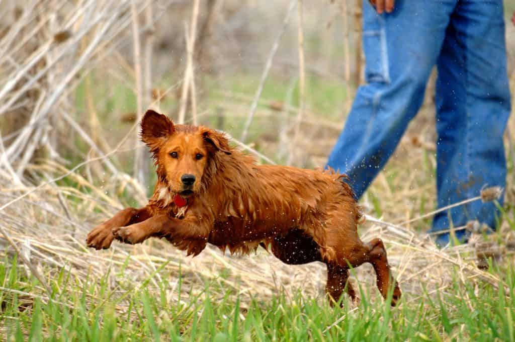 obedience drills for retrievers