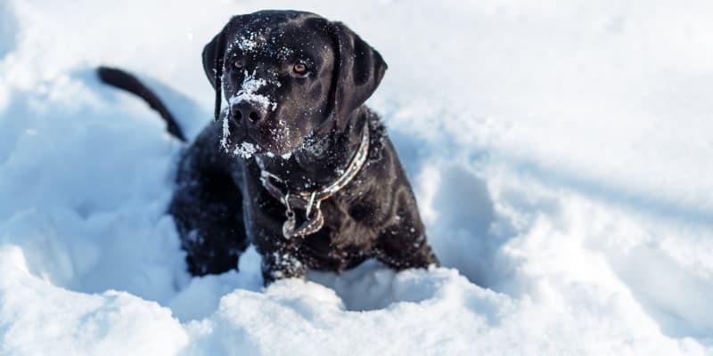 How to train my retriever in the winter – No No Drill