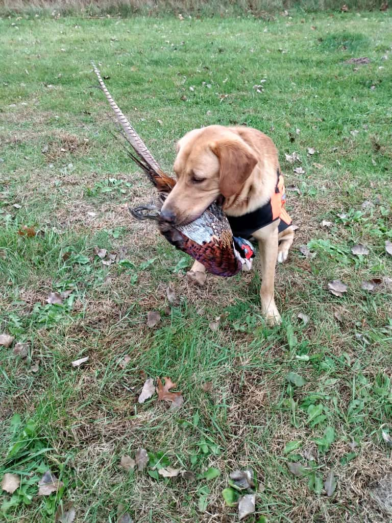 birds role in training hunting dogs