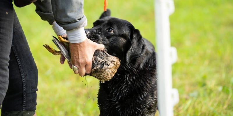 why use birds to train retrievers