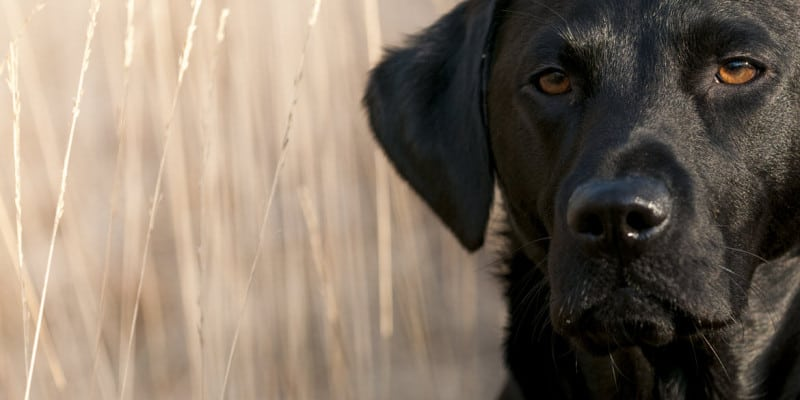 If you plan on training your retriever for hunting, you may be wondering what equipment you will need. Here are 6 vital tools every gun dog trainer needs.