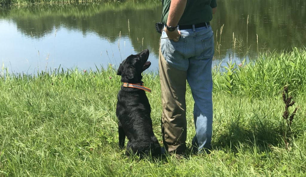 training retrievers with electronic collars