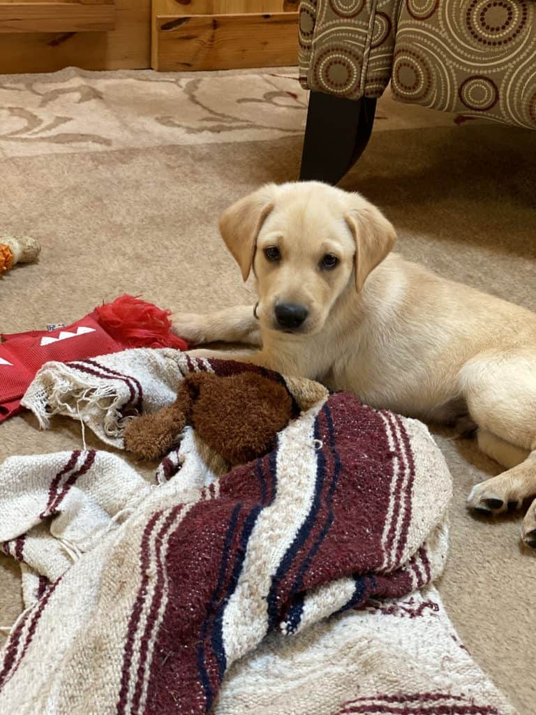 how to find a good Labrador puppy