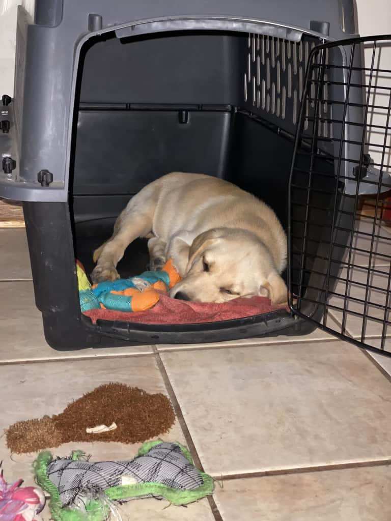 how to crate train a Lab puppy