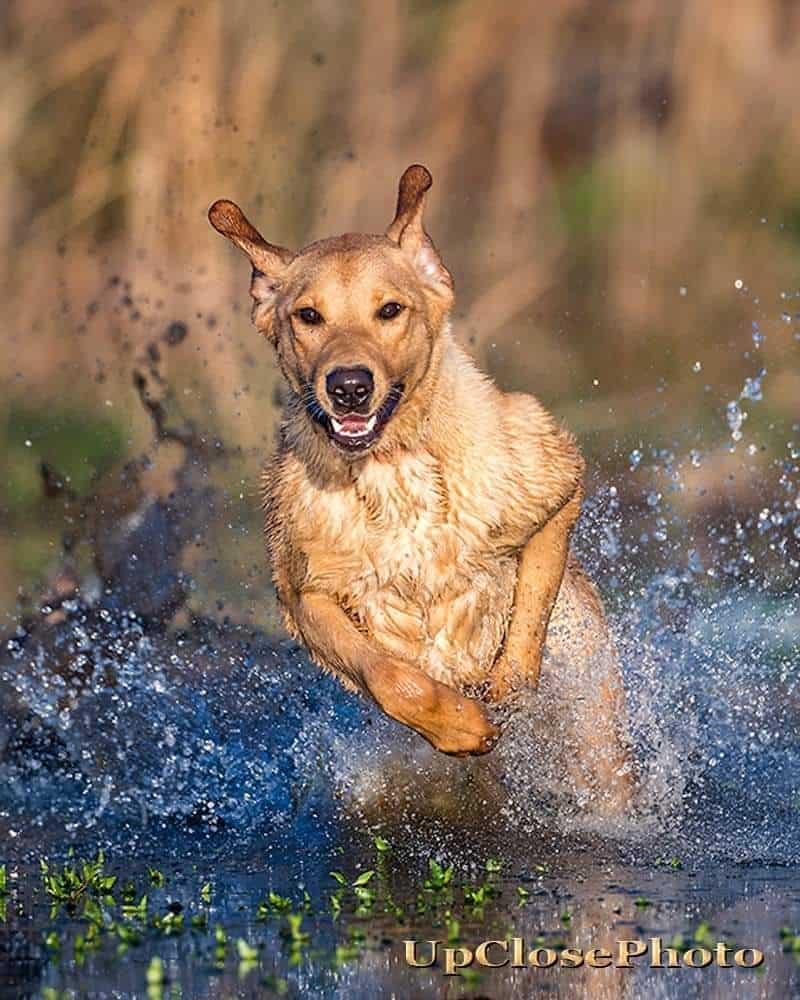 how much does gun dog retriever training cost?