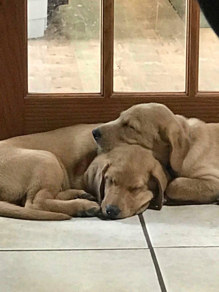 find good Labrador puppy