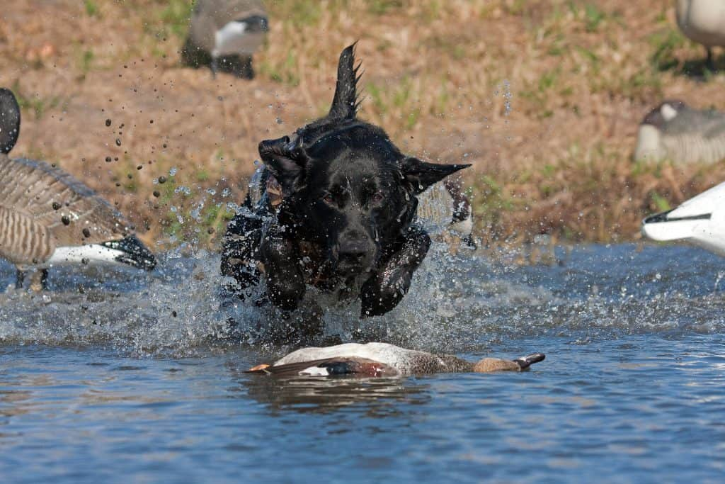 age to start hunting dog training
