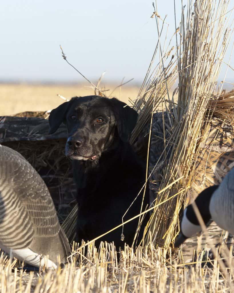 black lab in blind hunting