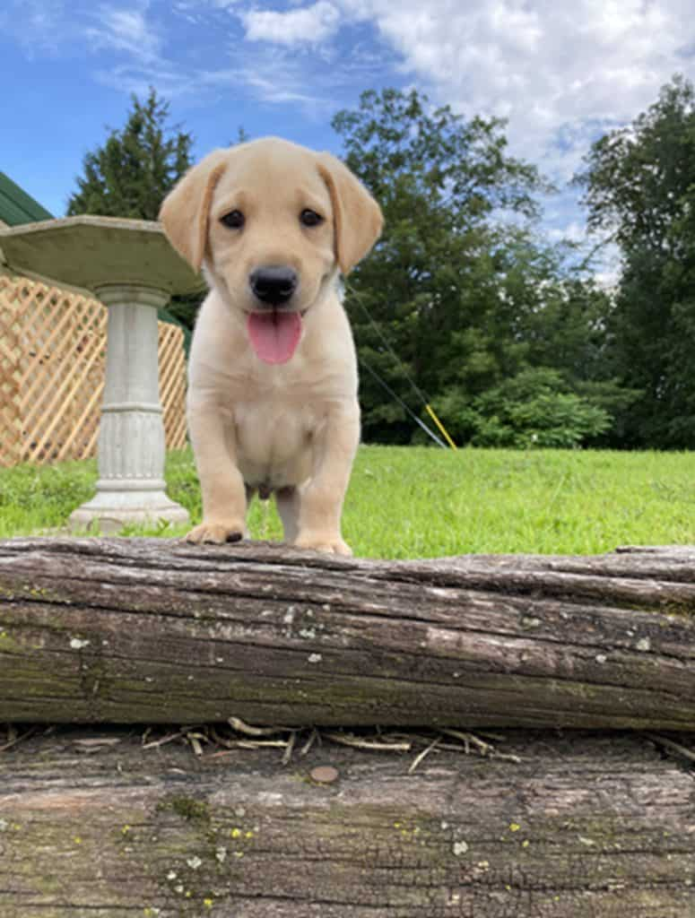 raising a lab puppy for hunting