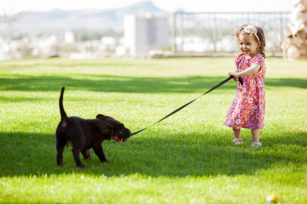 how to train labrador puppy