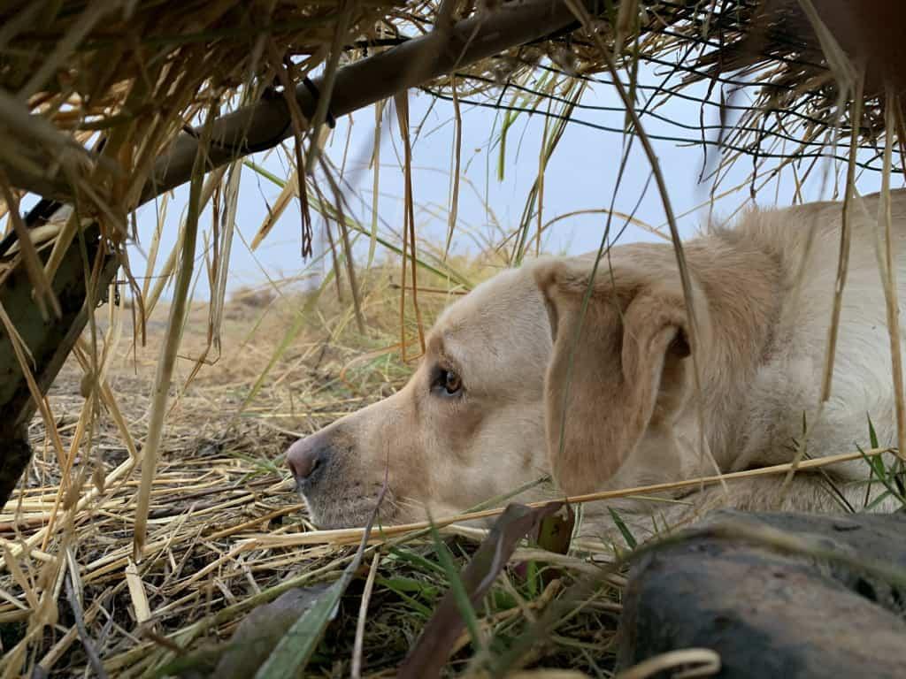 teaching hunting dog to handle pressure