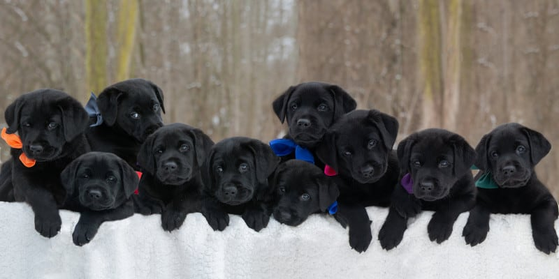 how to pick puppy from litter