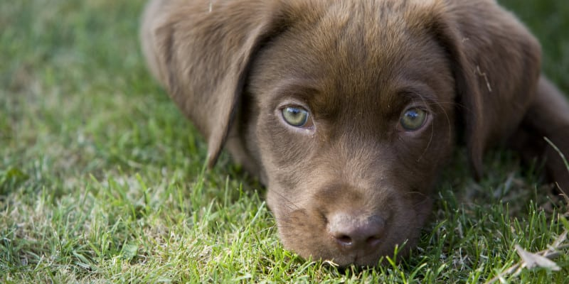 what to buy for lab puppy