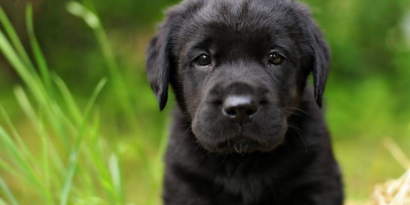 how to read retriever pedigree
